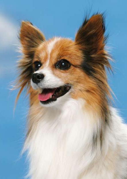 Papillon  Peachy Papillons  Dogs Monthly