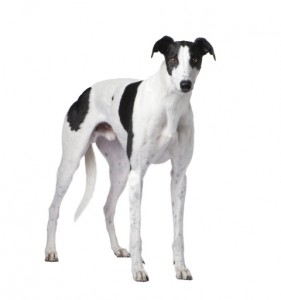 Greyhounds make great family pets!