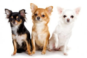 Chihuahuas enjoy the company of other dogs.